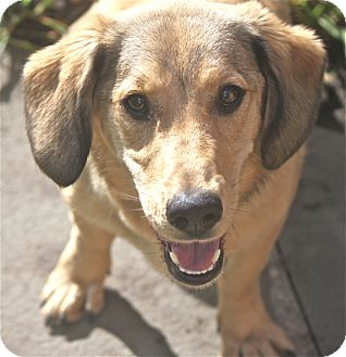 Basset Hound Mix Dog for adoption in Norwalk, Connecticut - Norma Jean