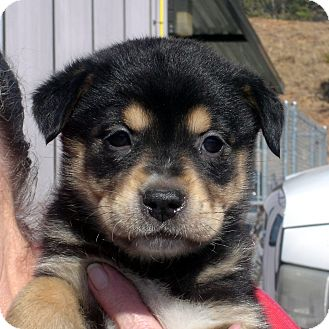 Rottweiler/German Shepherd Dog Mix Puppy for adoption in Greencastle, North Carolina - Tiara