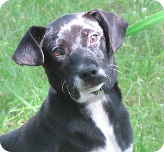 Terrier (Unknown Type, Small) Mix Puppy for adoption in Hagerstown, Maryland - Simon