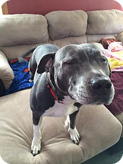 Pit Bull Terrier Mix Dog for adoption in Hainesville, Illinois - Alex