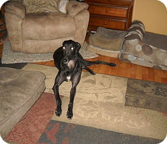 Greyhound Dog for adoption in Knoxville, Tennessee - Al's Tail Kicker