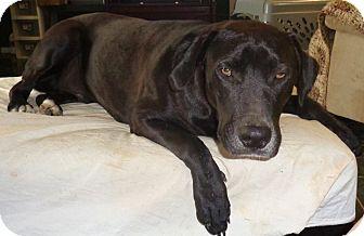 Labrador Retriever/Labrador Retriever Mix Dog for adoption in Sumter, South Carolina - LUKE