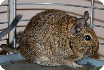 Degu for adoption in Bucyrus, Ohio - Blanche