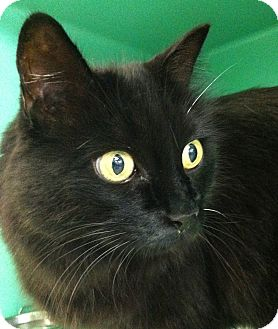 Domestic Longhair Cat for adoption in Port Hope, Ontario - Mitzy