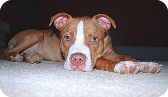American Staffordshire Terrier Mix Puppy for adoption in Reisterstown, Maryland - Reggie