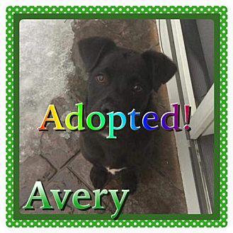 Labrador Retriever Mix Puppy for adoption in Kenmore, New York - Avery