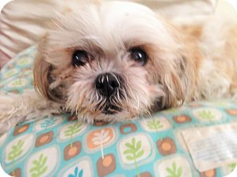 Shih Tzu Dog for adoption in Las Vegas, Nevada - Kissy