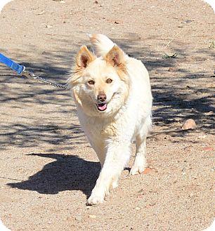 Australian Shepherd Mix Dog for adoption in Gardnerville, Nevada - Corona