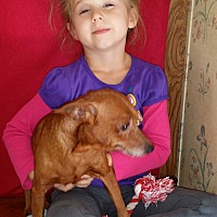 Chihuahua/Jack Russell Terrier Mix Dog for adoption in Inman, South Carolina - Brownie