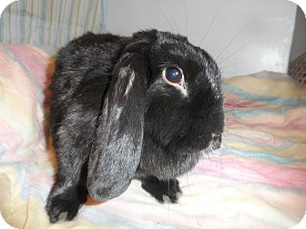 Lop-Eared Mix for adoption in Conshohocken, Pennsylvania - Guinness