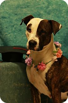 Pit Bull Terrier Mix Dog for adoption in Twin Falls, Idaho - Lucy