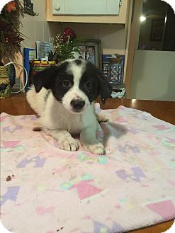 Jack Russell Terrier/Corgi Mix Puppy for adoption in Kittery, Maine - Dalton