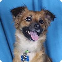 Adopt A Pet :: Kira - Minneapolis, MN