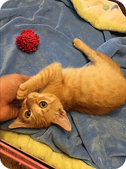 Domestic Shorthair Kitten for adoption in Simpsonville, South Carolina - Little Larry