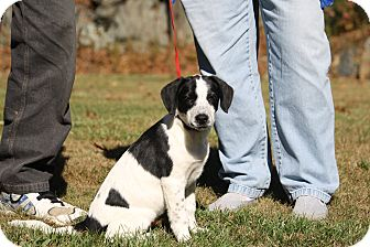 Brittany/Border Collie Mix Puppy for adoption in West Milford, New Jersey - NISHA-pending