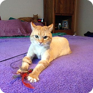 Domestic Shorthair Cat for adoption in Federal Way, Washington - Pumpkin - Your Purrfect match!