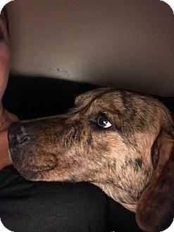 Labrador Retriever/Cattle Dog Mix Dog for adoption in Union Grove, Wisconsin - Dozer