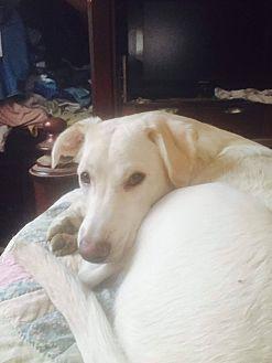 Labrador Retriever Mix Dog for adoption in ST LOUIS, Missouri - Twinkie