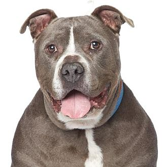 Pit Bull Terrier Mix Dog for adoption in Los Angeles, California - Gary