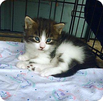 Maine Coon Kitten for adoption in Marlton, New Jersey - Bandit