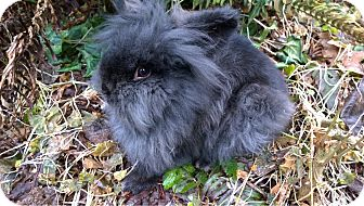 Lionhead Mix for adoption in Seattle c/o Kingston 98346/ Washington State, Washington - Licorice