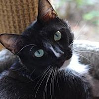 Adopt A Pet :: Hashbrown 170523 - Atlanta, GA