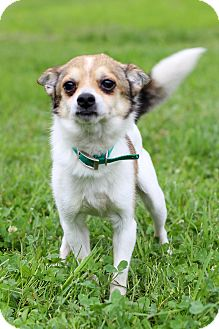 Jack Russell Terrier/Chihuahua Mix Dog for adoption in Waldorf, Maryland - Pullman