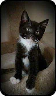 Domestic Shorthair Kitten for adoption in Richmond, Virginia - Bijou