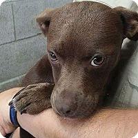 Adopt A Pet :: Bree - Albany, NY