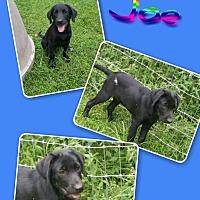 Adopt A Pet :: Joe - SOUTHINGTON, CT