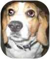 Beagle Dog for adoption in Portland, Oregon - Spartacus