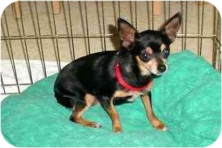Chihuahua Dog for adoption in Arlington, Tennessee - Lyndi