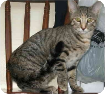 Domestic Shorthair Cat for adoption in Port Hope, Ontario - Michelina
