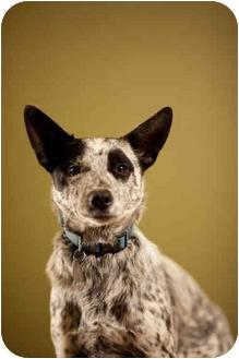 Australian Cattle Dog Dog for adoption in Portland, Oregon - Bart