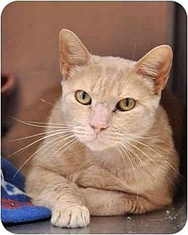 Domestic Shorthair Cat for adoption in Carencro, Louisiana - Buffy