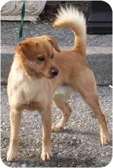 Pomeranian/Feist Mix Dog for adoption in Staunton, Virginia - Marley