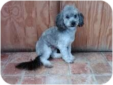 Poodle (Miniature) Dog for adoption in Goleta, California - Arty