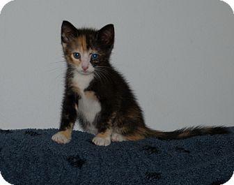 Calico Kitten for adoption in Jacksonville, Florida - Tory