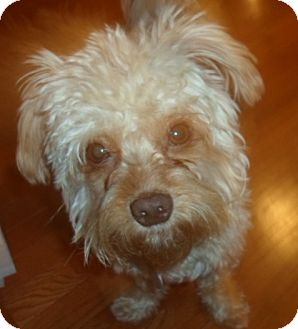 Maltese/Poodle (Toy or Tea Cup) Mix Dog for adoption in Spring Valley, New York - Teddy