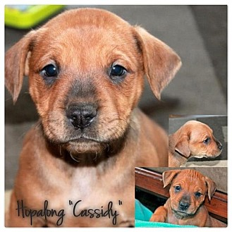 American Bulldog/Pit Bull Terrier Mix Puppy for adoption in Garden City, Michigan - Cassidy