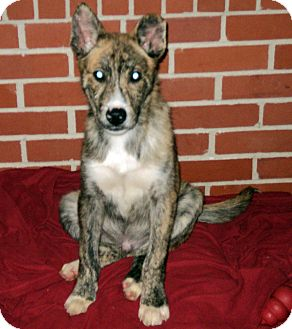 Dutch Shepherd Mix Puppy for adoption in Tallahassee, Florida - Jester