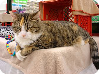Domestic Shorthair Cat for adoption in Fountain Hills, Arizona - SWEETIE
