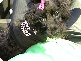 Yorkie, Yorkshire Terrier/Poodle (Toy or Tea Cup) Mix Dog for adoption in Cranford, New Jersey - Zoey