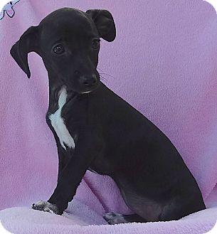 Chihuahua/Dachshund Mix Puppy for adoption in Studio City, California - Jakey