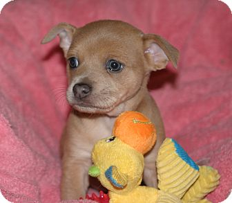Jack Russell Terrier/Shiba Inu Mix Puppy for adoption in Santa Ana, California - Dahlia