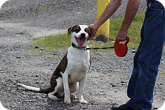 Catahoula Leopard Dog/Plott Hound Mix Dog for adoption in Hershey, Pennsylvania - Bandito