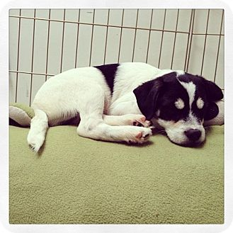 Jack Russell Terrier Mix Puppy for adoption in Portland, Oregon - Ned