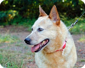 Australian Cattle Dog/Blue Heeler Mix Dog for adoption in Marietta, Georgia - Casey
