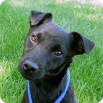 Patterdale Terrier (Fell Terrier) Dog for adoption in West Chicago, Illinois - Toby