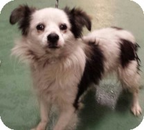 Papillon Dog for adoption in St. Petersburg, Florida - Eros